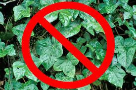 no ivy
